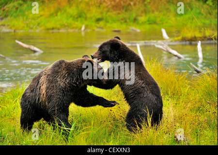 Two grizzly bears playing - Stock Photo