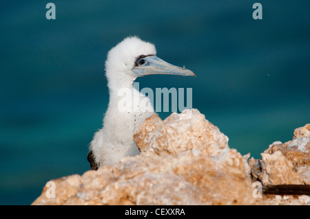 Immature of brown booby resting on a cliff in the red sea - Stock Photo