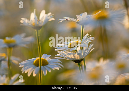 Oxeye daisy / Ox-eye Daisy / Moon daisies (Leucanthemum vulgare / Chrysanthemum leucanthemum) flowering in meadow, - Stock Photo
