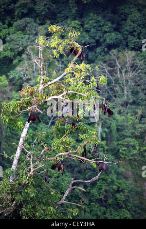 Flying fox (fruit bats) in the Sianok Canyon at Koto Gadang. - Stock Photo