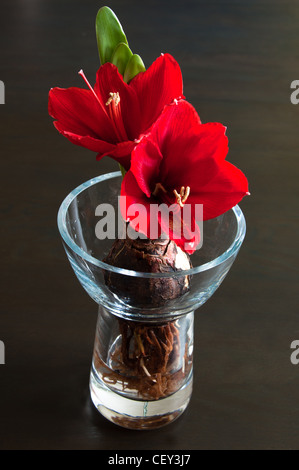 Close up of a red amaryllis with bulb and roots in glass vase on dark background - Stock Photo