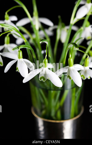 Galanthus nivalis. Snowdrops in a glass vase on a black background. - Stock Photo