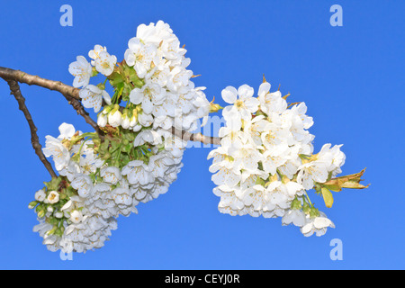 Cherry Blossom in front of blue sky (twig detail) - Stock Photo