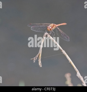 Common Darter (Sympetrum striolatum ) dragonfly (female), perched on twig - Stock Photo