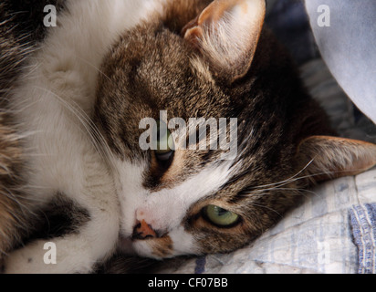 Tabby cat lying on a blue cushion bed, close up, headshot, warm, sleepy, comfortable. - Stock Photo