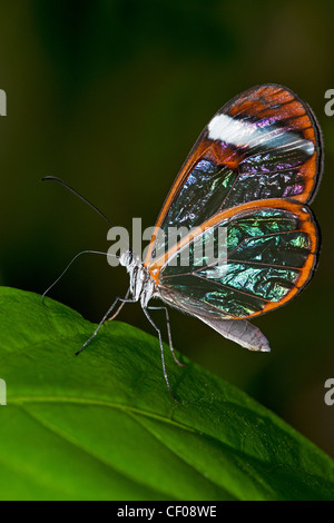 A Clearwing butterfly feeding - Stock Photo