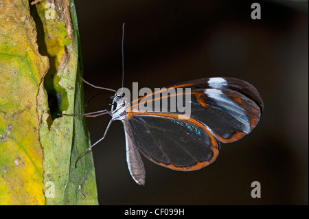 A Clearwing butterfly at rest - Stock Photo