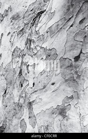 Eucalyptus pauciflora niphophila. Snow gum tree bark. Monchrome - Stock Photo