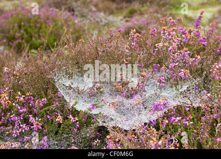 Heavy dew and rain droplets hanging in a spiders web in heather on Dartmoor, Devon UK - Stock Photo
