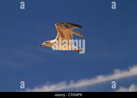 Seagull in flight against a deep blue sky - Stock Photo