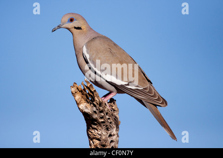 White-winged Dove Zenaida asiatica Amado, Santa Cruz County, Arizona, United States 7 May Adult Columbidae - Stock Photo