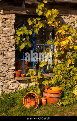 Grape vine growing over old wooden window of stone cottage in english garden with scattered terracotta pots. - Stock Photo