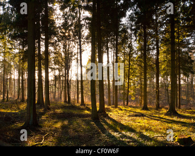 Glade in forest with late afternoon beams of sunlight bursting through the trees - Stock Photo