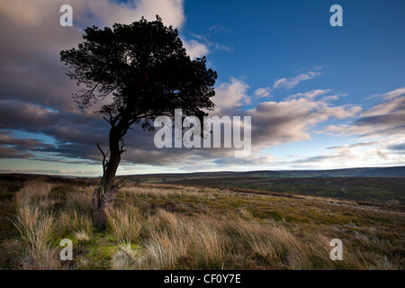 Lone Pine Tree and grasses on the North York Moors National Park in Winter - Stock Photo