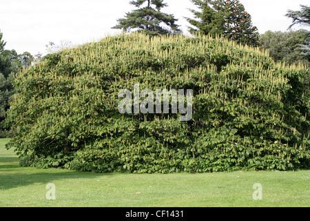 Dwarf Buckeye, Aesculus parviflora, Hippocastanaceae. South East USA, North America. - Stock Photo