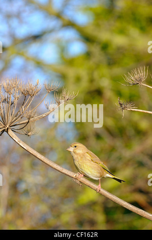 Greenfinch, carduelis chloris, perched on giant hogweed, heracleum mantegazzianum, Norfolk, England, October - Stock Photo