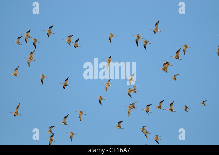 Bar tailed godwits, limosa lapponica, flock in flight with blue sky, Norfolk, England, December, - Stock Photo