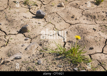 Yellow Dandelion Flower Growing In A Parched Agricultural Field At Springtime; Laval Quebec Canada - Stock Photo