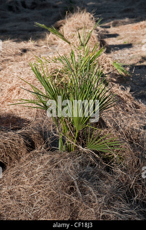 nursery protecting small palm trees from cold weather with pine straw mulch, North Florida - Stock Photo