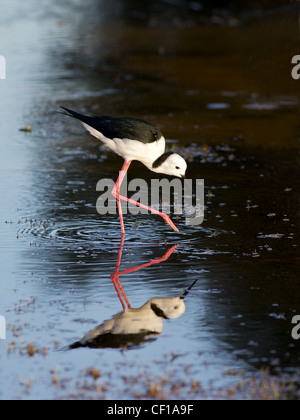 The Black-winged Stilt, Common Stilt or Pied Stilt (Himantopus himantopus), is a widely distributed, very long-legged - Stock Photo