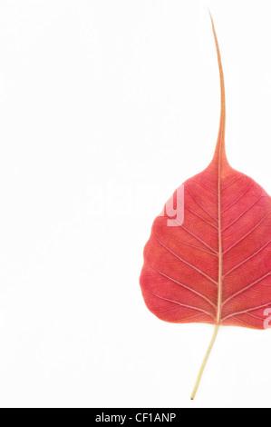 Ficus religiosa. Sacred Fig tree leaf / Bodhi tree leaf pattern on white background - Stock Photo