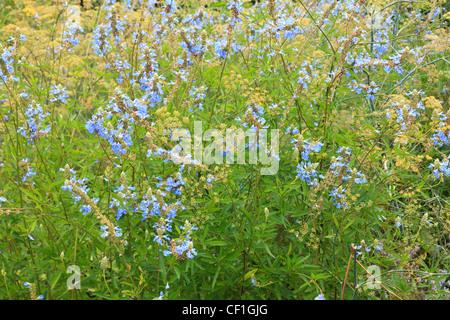 Bog sage, Salvia uliginosa and fennel (Foeniculum vulgare) - Stock Photo