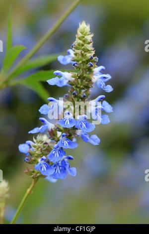Bog sage, Salvia uliginosa. - Stock Photo