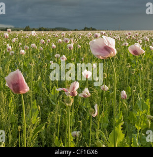 Pink poppies in field with rain clouds in the distance - Stock Photo