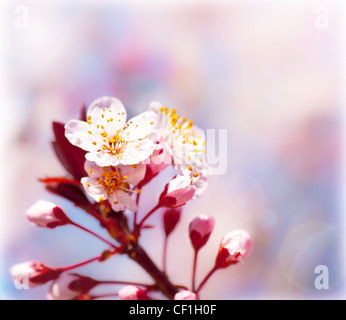 Blooming tree at spring, fresh pink flowers on the branch of fruit tree, plant blossom abstract background, seasonal - Stock Photo