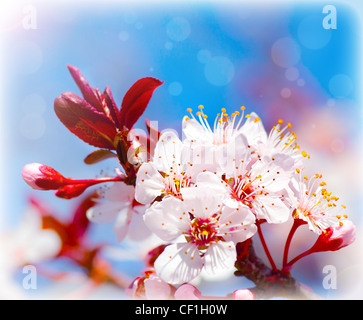 Blooming tree at spring, fresh white flowers on the branch of fruit tree, plant blossom abstract background, seasonal - Stock Photo