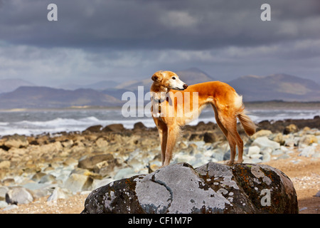 A Saluki cross Lurcher standing on a large rock on the beach at Llanfair. - Stock Photo