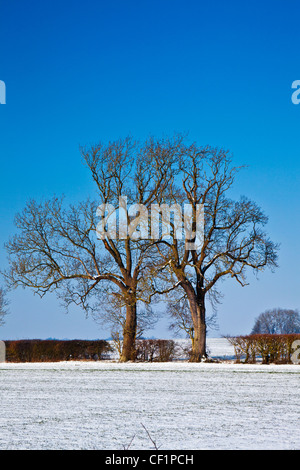 Bare winter trees at the edge of a snow covered field in the Cotswolds near the Ampneys, Gloucestershire, England, - Stock Photo