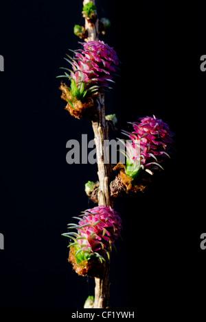 Common larch / European larch (Larix decidua) female flowers, Germany - Stock Photo