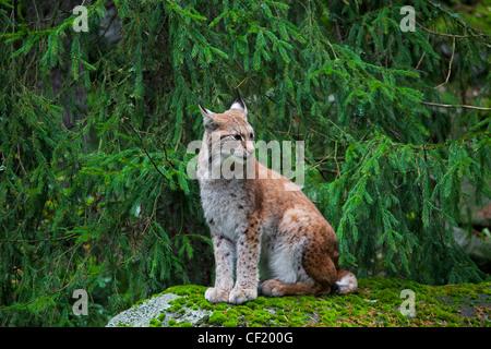 Eurasian lynx (Lynx lynx) sitting on rock in pine forest, Sweden - Stock Photo