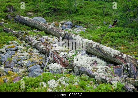 Fallen pine tree trunk covered in reindeer lichen left to rot in virgin forest at Fulufjaellet / Fulufjället NP, - Stock Photo