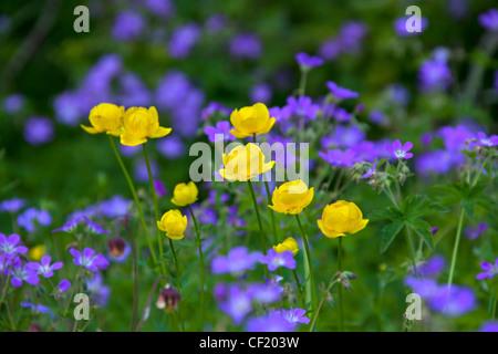 European Globe-flower / Globe Flower (Trollius europaeus) and Wood Cranesbill / Woodland Geranium (Geranium sylvaticum) - Stock Photo