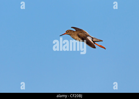 Common Redshank (Tringa totanus) in flight - Stock Photo