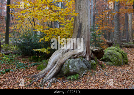 Fall STONES dead wood dead wood old tree root - Stock Photo