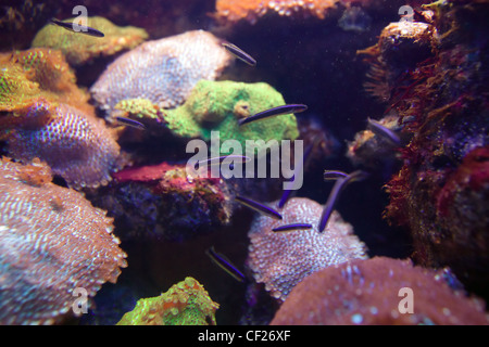 fishes coral and anemones in the bottom of aquarium or sea - Stock Photo