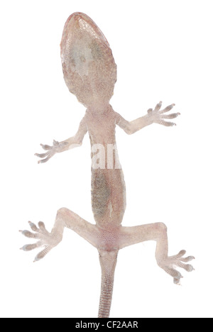 gecko babe isolated on white background - Stock Photo