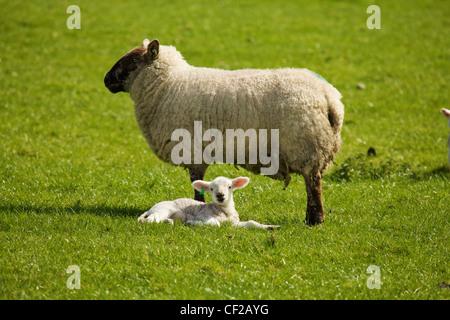 Adult Sheep With Lamb; Dublin County Dublin Ireland - Stock Photo