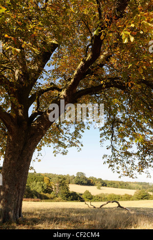 A horse chestnut tree in autumn with the leaves turning brown and yello, with yellow fields and woods in the background - Stock Photo