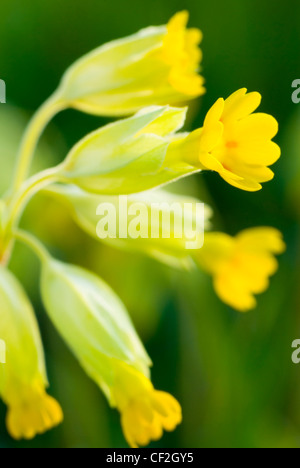 Cowslip growing in a Northumberland Wildlife Trust Reserve known as Juliet's Wood in Slaley. - Stock Photo