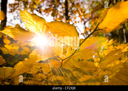 Sun shining through the golden leaves of a beech tree in Autumn. - Stock Photo