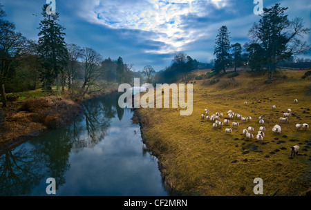 Sheep grazing on the banks of the River Till at Twizel, a tributary of the River Tweed. - Stock Photo