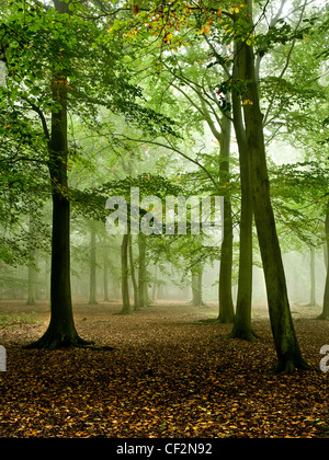 Misty woodland in Thorndon Country Park. - Stock Photo