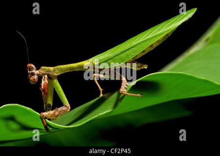 Mantis religiosa,Gunung Mulu National Park,Borneo - Stock Photo