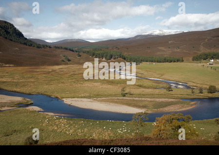 Sheep grazing on the banks of the River Dee near Linn of Dee. - Stock Photo