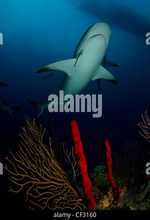 Caribbean Reef Shark over soft corals in the Bahamas - Stock Photo
