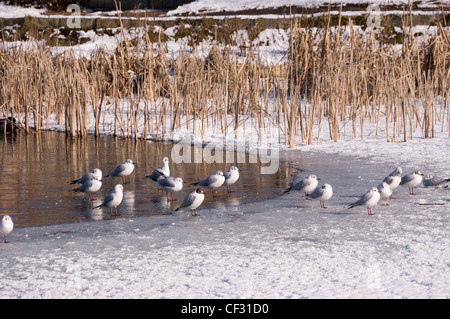 Tylers Green - winter scene - part frozen and snow covered pond - seagulls resting in winter sunlight - backdrop - Stock Photo